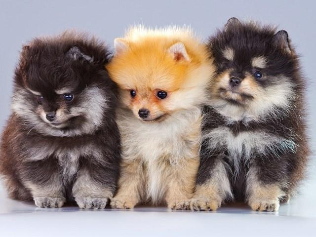 Szpic miniaturowy szczeniaki
