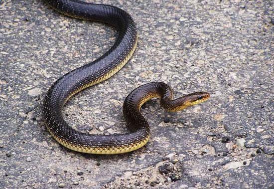 Węże w Polsce, wąż eskulapa