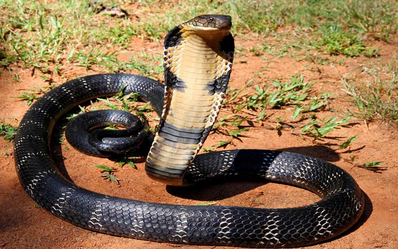 Zwierzęta świata, kobra królewska