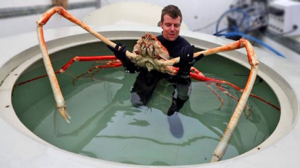 Zwierzęta świata, japoński krab pacyficzny
