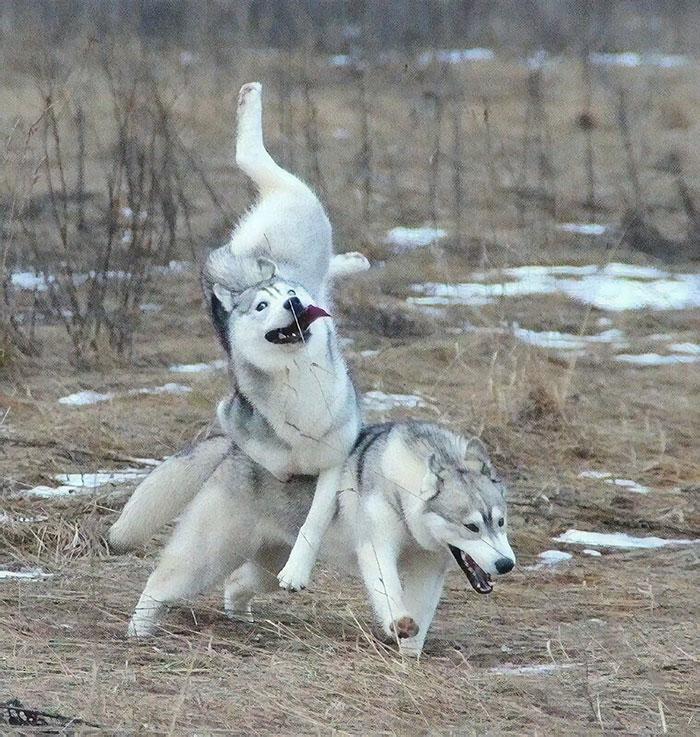 30 zdjęć, które dowodzą, że husky to jedna z najdziwniejszych i najśmieszniejszych ras
