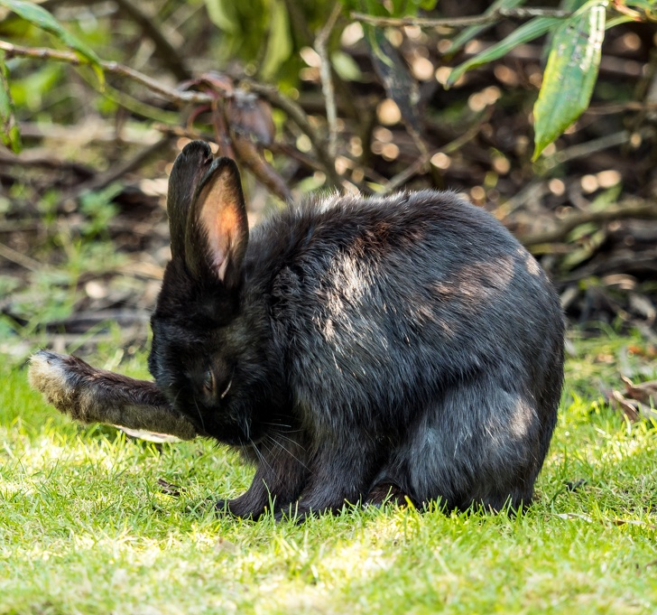 Ciekawostki o zwierzętach, czarny królik