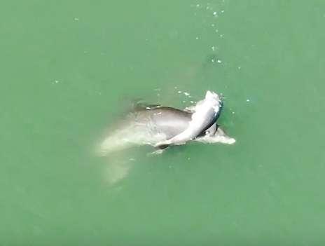 Zrozpaczony delfin pływa z ciałem zmarłego dziecka. Jego zachowanie łamie serce