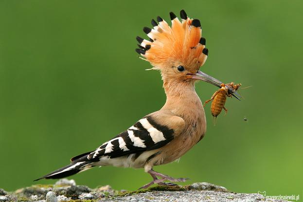 Ptaki polskie, dudek