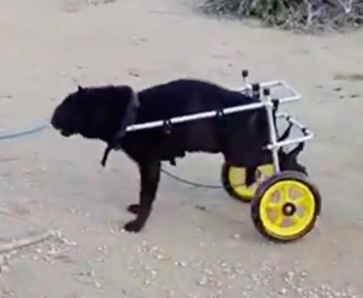 Pies na wózku inwalidzkim