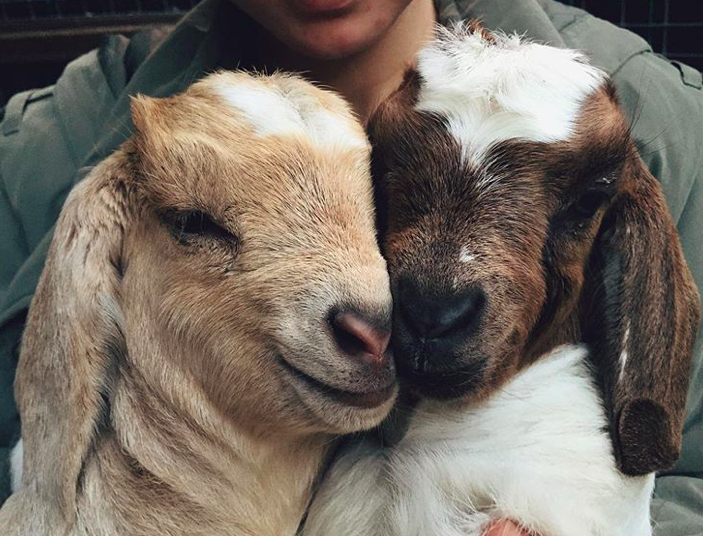20+ uroczych kóz, które całkowicie skradły nasze serca