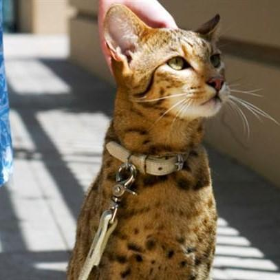 Najdroższy kot świata
