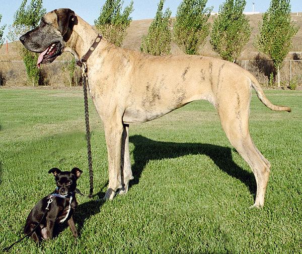 Dog niemiecki - największy pies świata