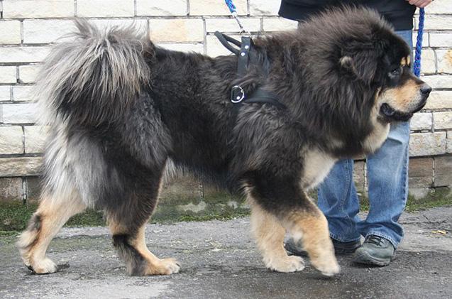 Tybetański mastif