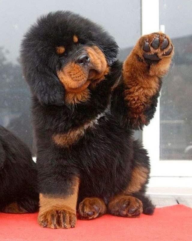 Mastif tybetański szczeniak