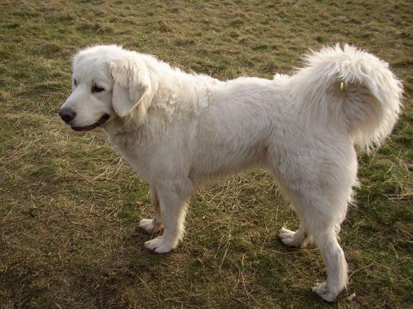 Polskie rasy psów, owczarek podhalański