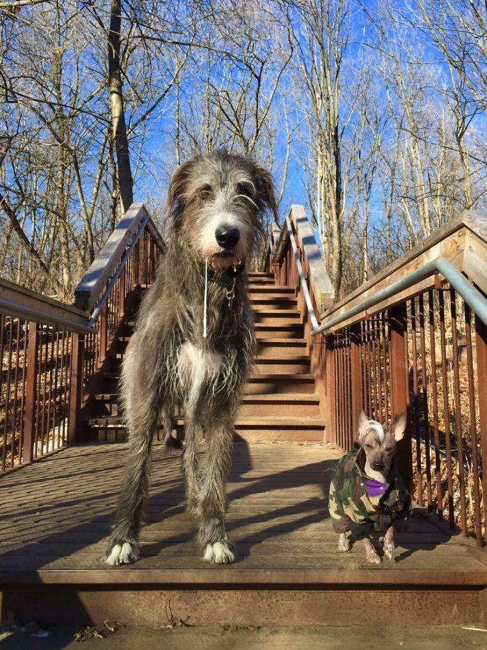 Psy giganty uchwycone na zdjęciach. To szalone, jak bardzo są wielkie!
