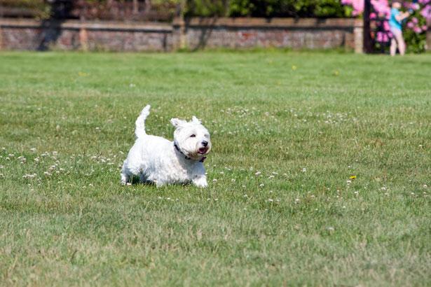 West Highland white terrier szczeniak