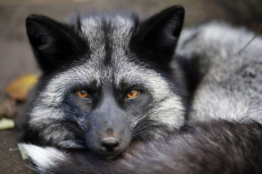 30 zwierząt, które uratowano przed zabiciem na futro. Teraz żyją szczęśliwie w sanktuariach