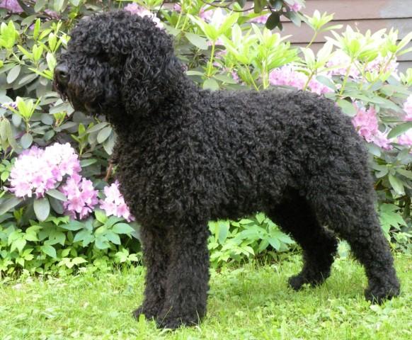 Francuski pies dowodny