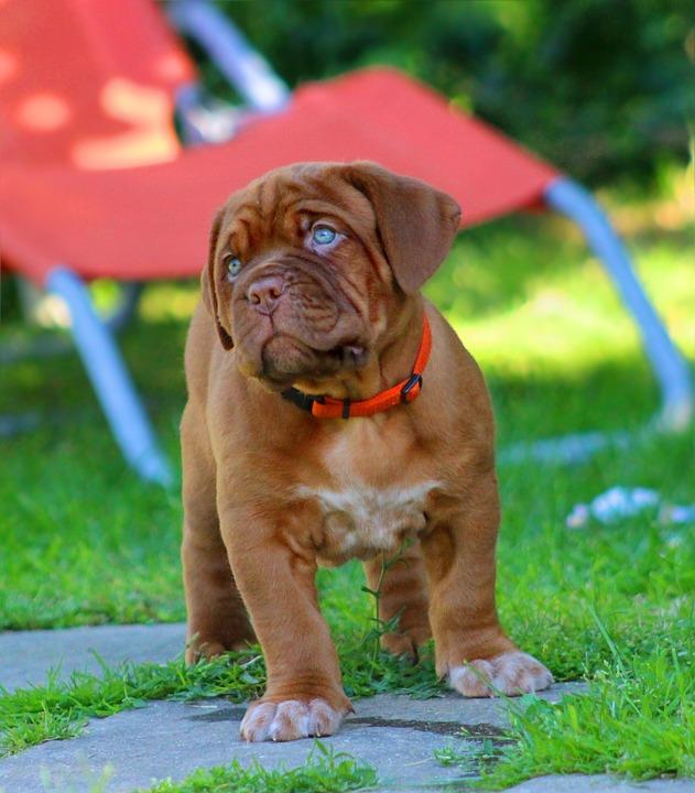 Dog z Bordeaux szczeniak