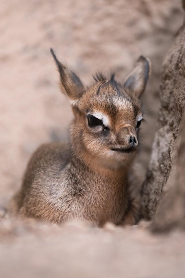 We Wrocławiu urodziła się samica dikdika. Zoo już szuka dla niej imienia