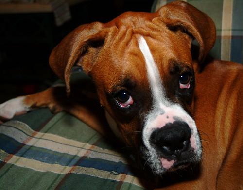 Kolejne psy zapadają na tajemniczą chorobę. Zmarło już conajmniej 26 czworonogów