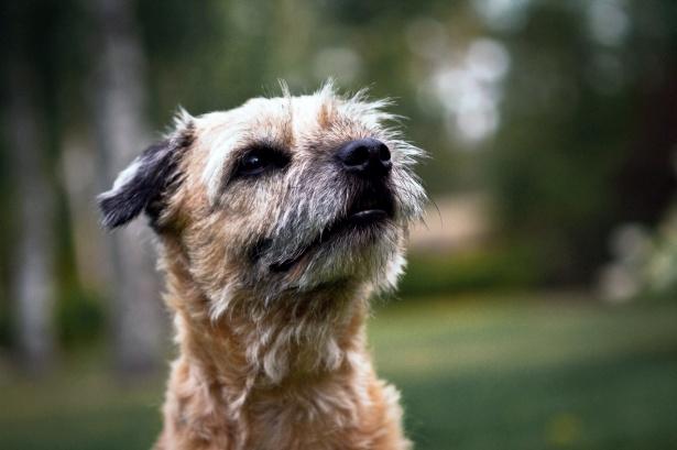 Pies border terrier
