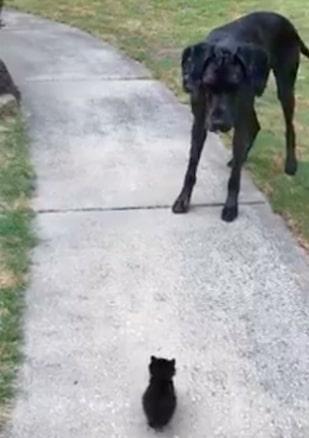 Wielki dog niemiecki spotyka na swojej drodze małego kotka. Filmik, który bawi do łez