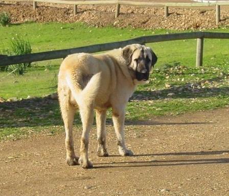 Rasa mastif hiszpański
