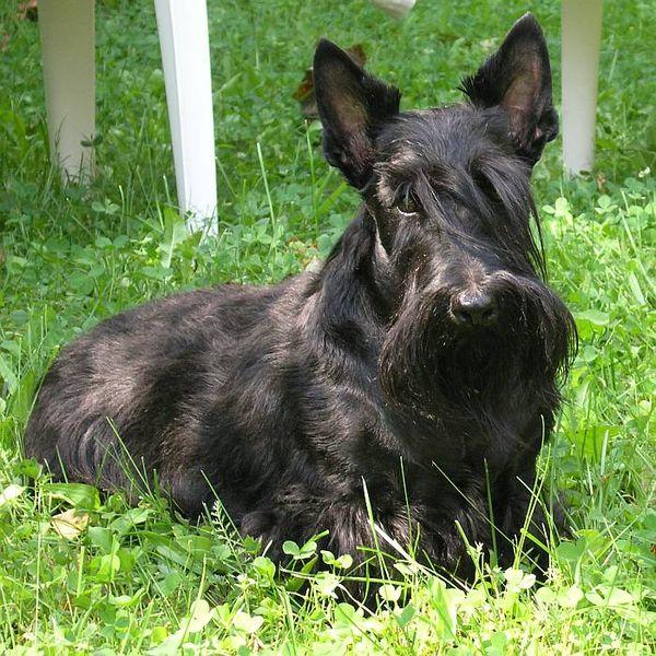 Terier szkocki czarny