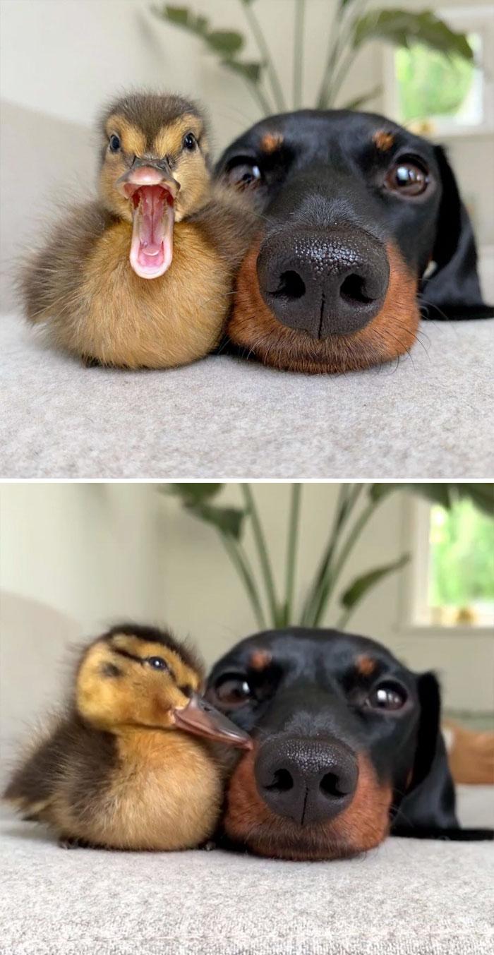 30 najsłodszych kaczek, które od razu rozjaśnią twój dzień