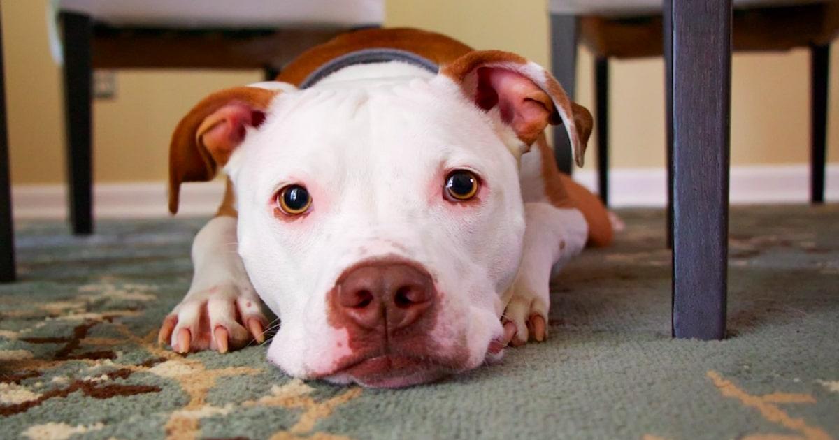 Amerykański pit bull terrier