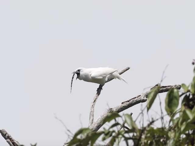 Tak brzmi najgłośniejszy ptak świata. Wydawany przez niego dźwięk może zagłuszyć samolot