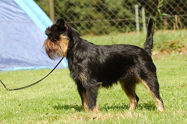 Pies gryfonik belgijski