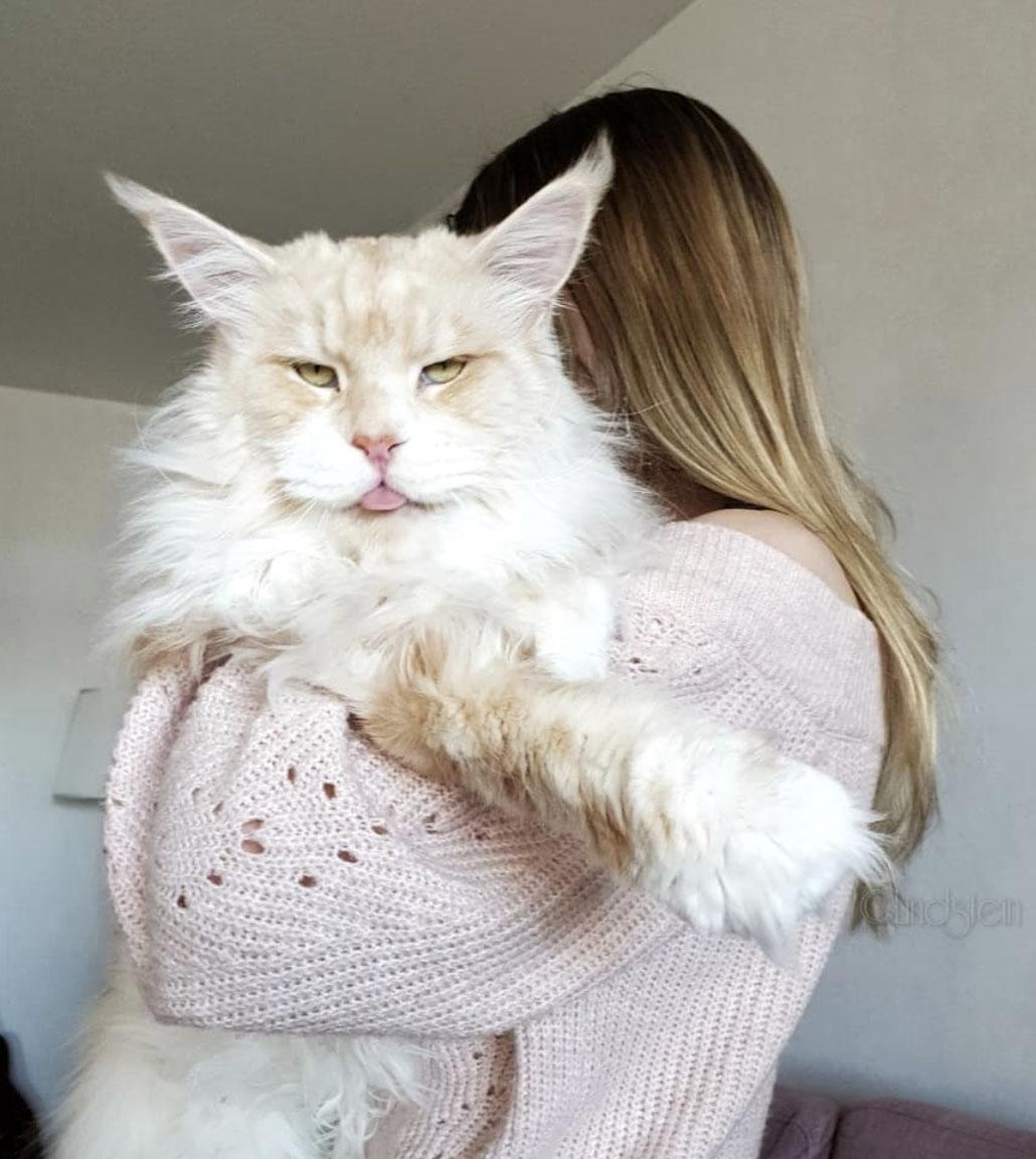 Ten olbrzymi kot istnieje naprawdę. Jest przedstawicielem rasy Maine Coon