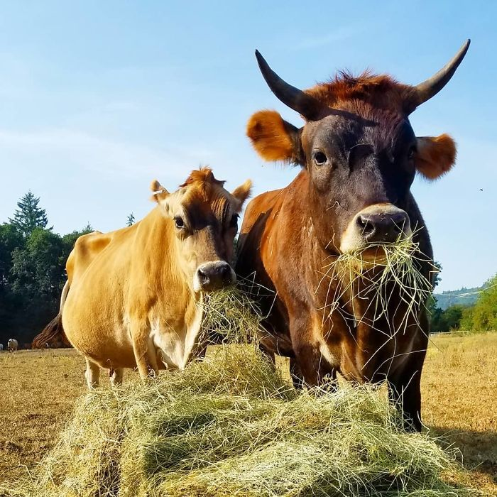 Opuszczony i ślepy bizon był skazany na samotność. Wtedy na jego drodze stanął Oliver