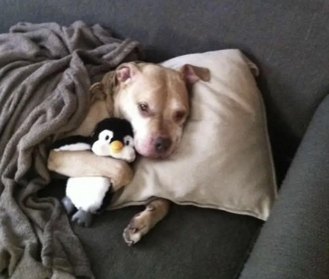 16 niezaprzeczalnych dowodów na to, że pit bulle wcale nie są agresywną rasą psów