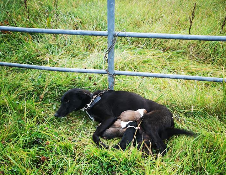 Znalazł przywiązaną do ogrodzenia suczkę. Tuż obok niej leżało 6 malutkich szczeniąt