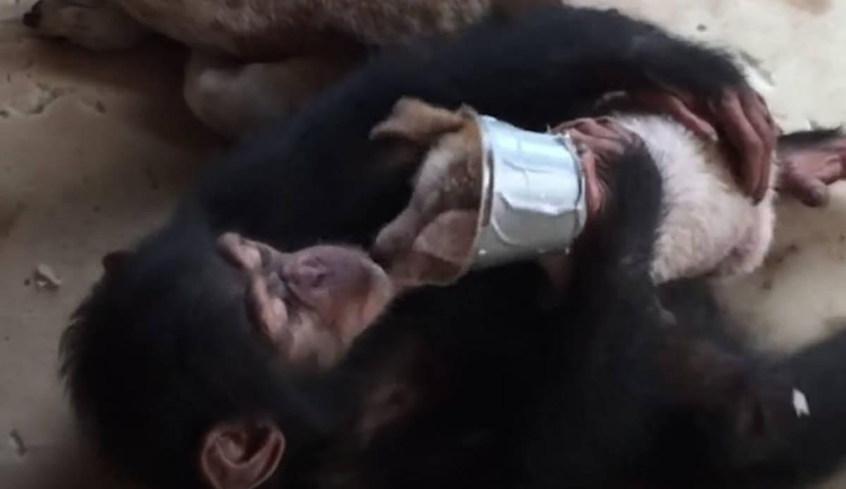 Umierający szczeniak trafił w ręce szympansów. Jego życie wisiało na włosku