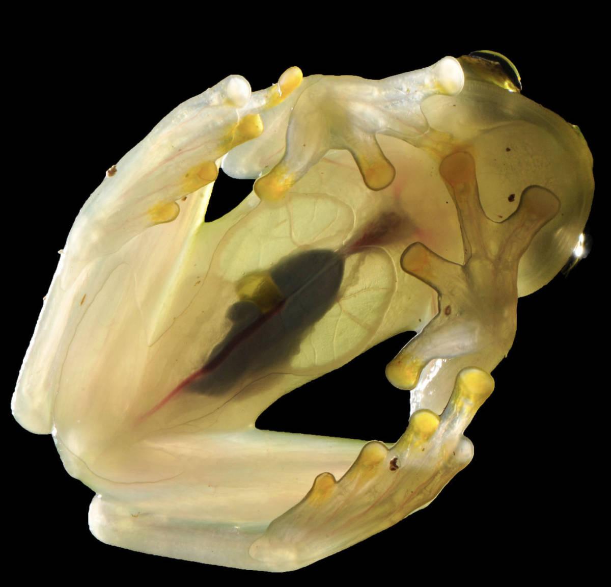 12 transparentnych zwierząt, o których istnieniu nawet nie słyszałeś!
