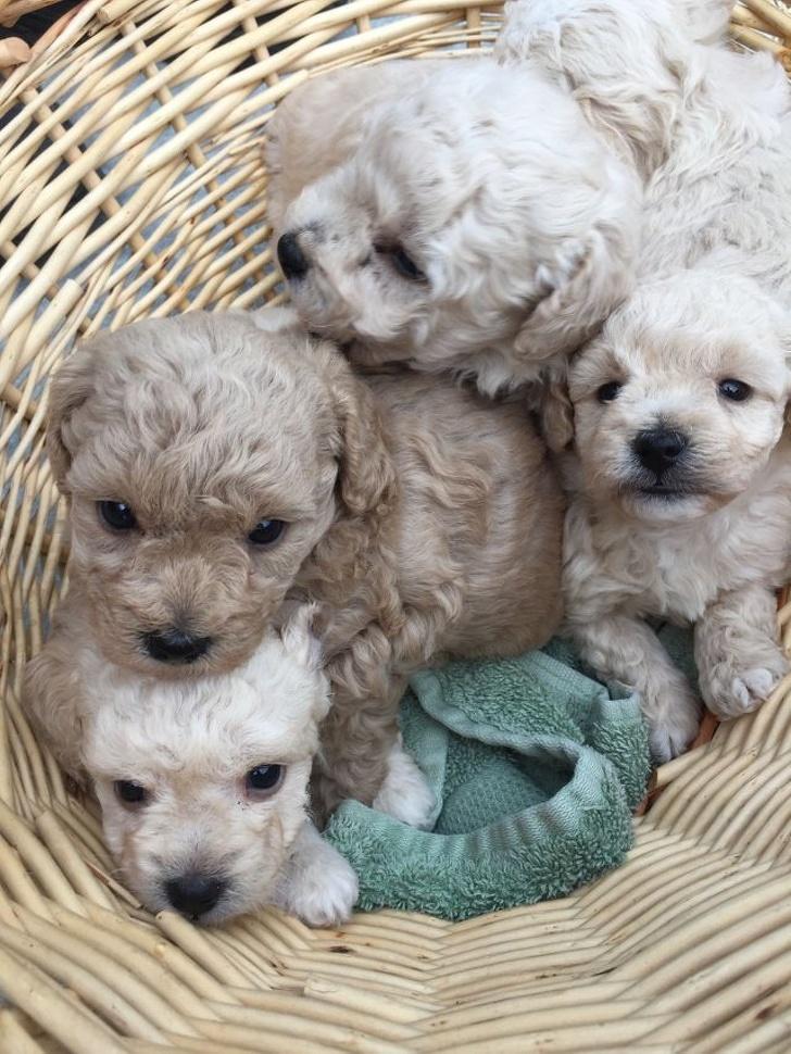 12 niesamowitych krzyżówek psów, na widok których trudno przejść obojętnie