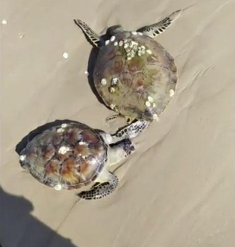 125 martwych żółwi znalezionych na plaży. Zwierzęta potwornie cierpiały przed śmiercią