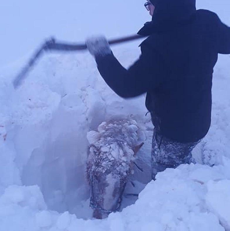 Śnieg w całości zasypał konie. Trudno było dostrzec nawet ich głowy