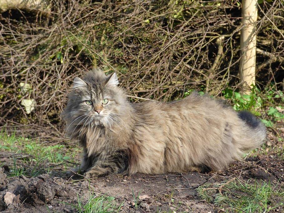 6 gigantycznych ras kotów, które wielkością przypominają swoich dzikich braci