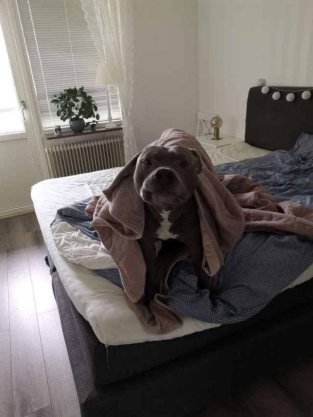 Przeraźliwie bała się pit bulla swojego sąsiada. Jednego dnia wpadł do jej mieszkania