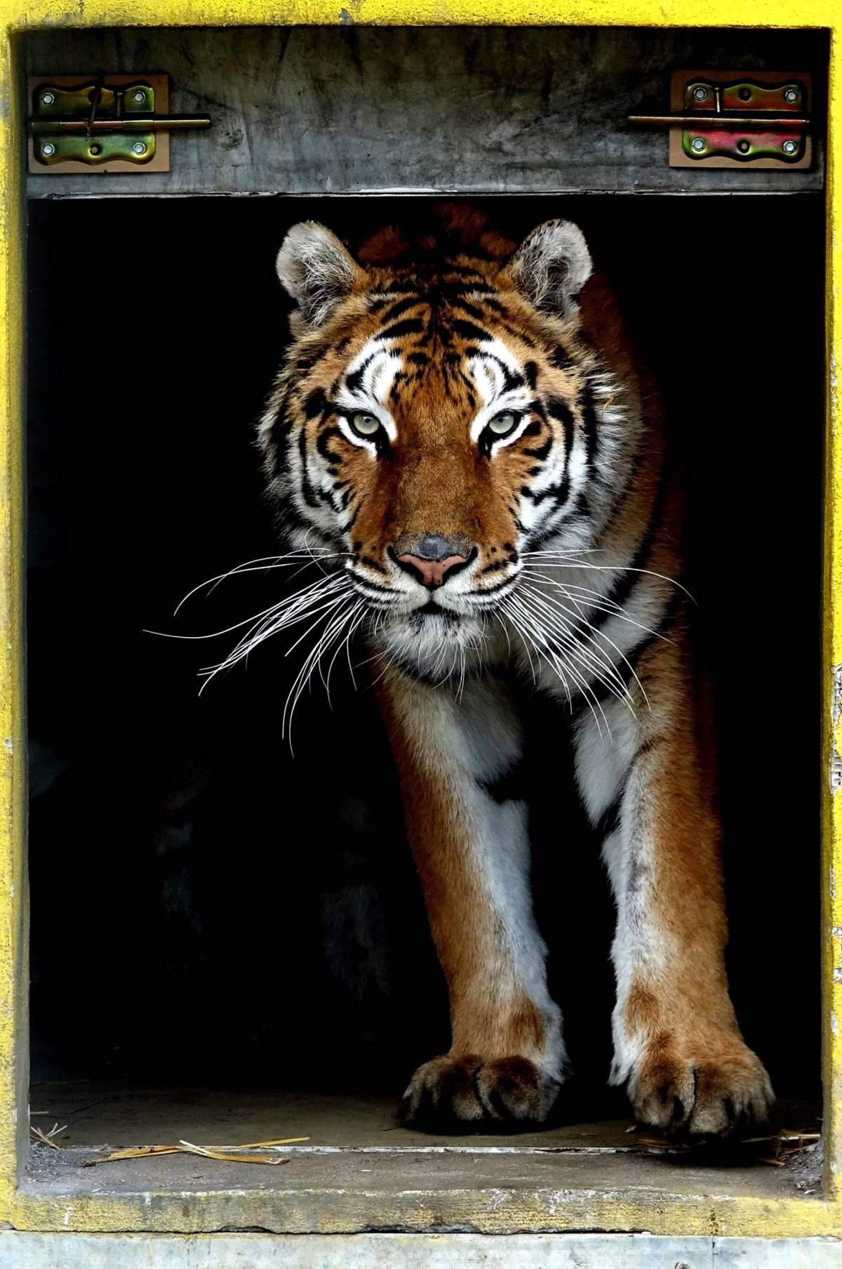 Nie przyjmie pieniędzy za uratowanie tygrysów. Przeznaczy je na szlachetny cel