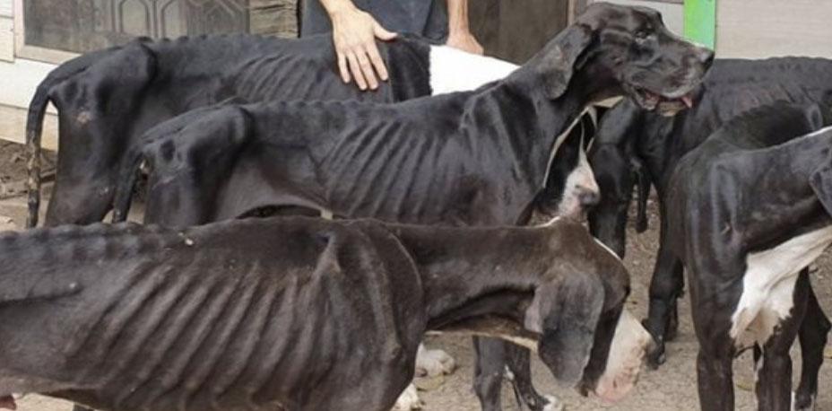 15 przeraźliwie wychudzonych dogów niemieckich. Ten widok wywołuje łzy rozpaczy