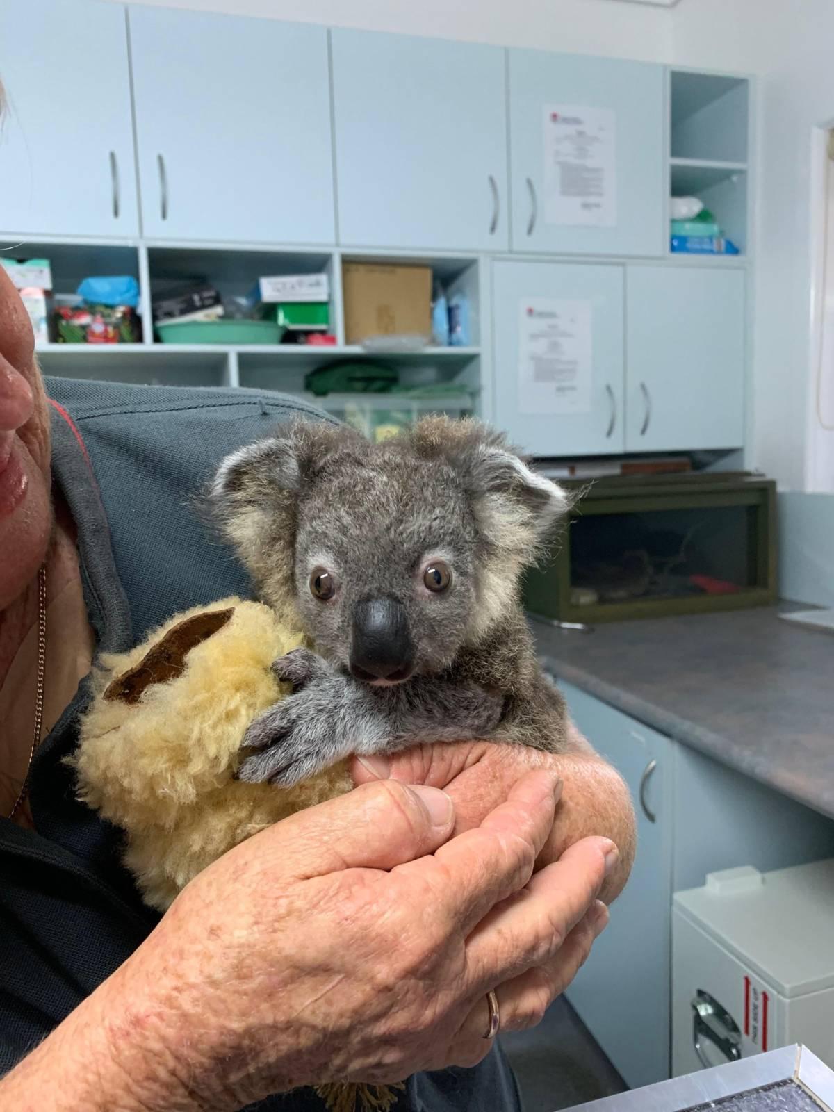 Małe kangury i koale, które przeżyły pożar w Australii, mają zostać zabite? To nieprawda