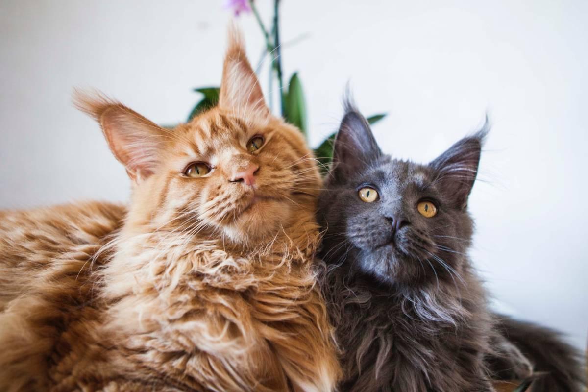 5 zaskakujących faktów o kotach rasy Maine Coon, o których nie powie Ci hodowca