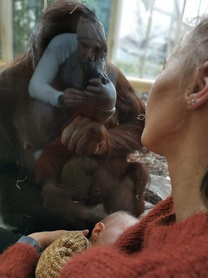 Mama karmiła piersią tuż przy klatce orangutana. Reakcja zwierzaka zaskoczyła miliony