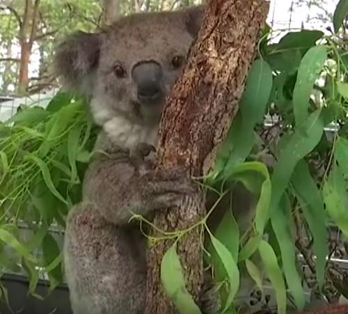22-latek ryzykował własne życie, by uratować z pożarów w Australii 9 płaczących koali