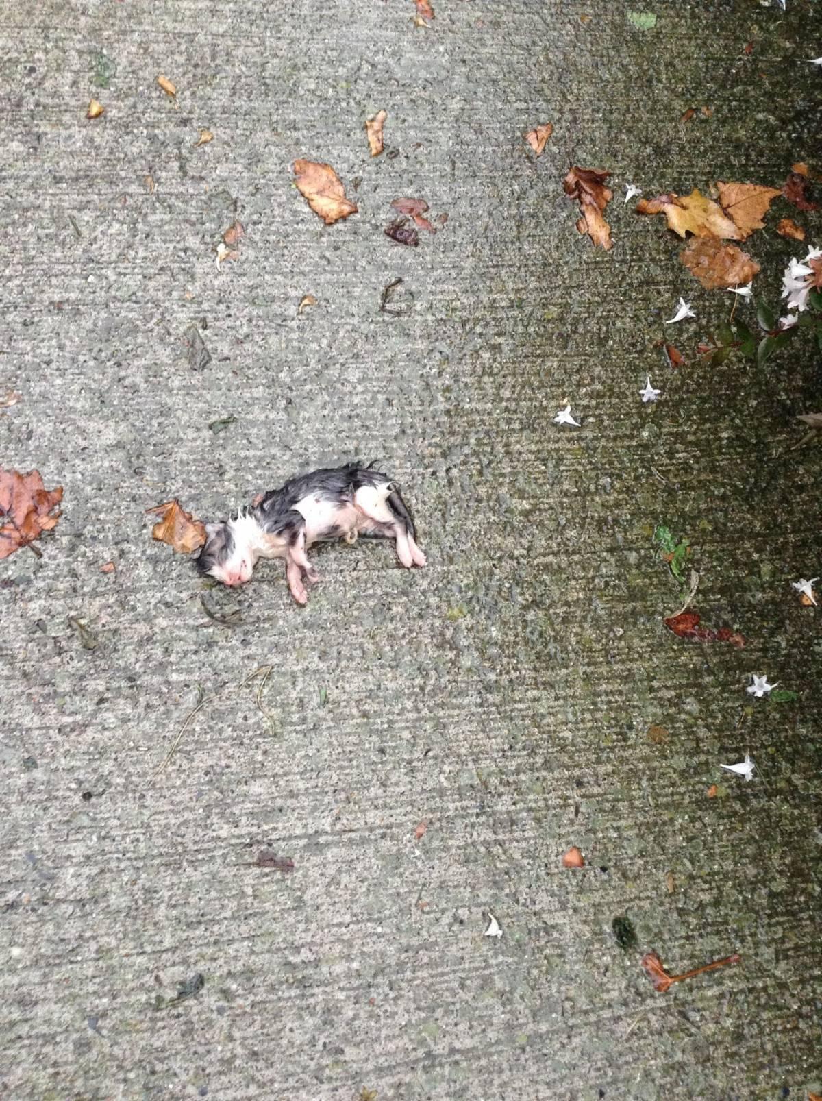 Kobieta znajduje maleńkiego kotka, leżącego samotnie w deszczu na betonie