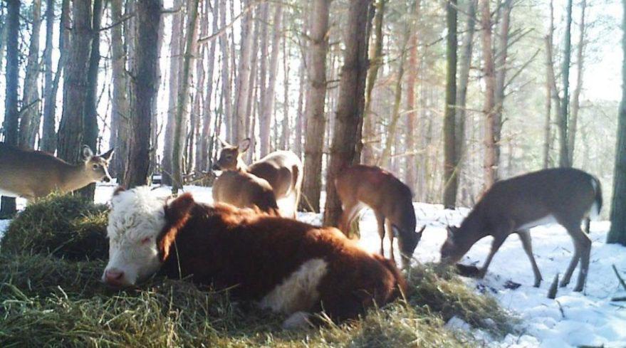 4-miesięczna krówka uciekła z rzeźni. Znalazła pomoc w nietypowym miejscu