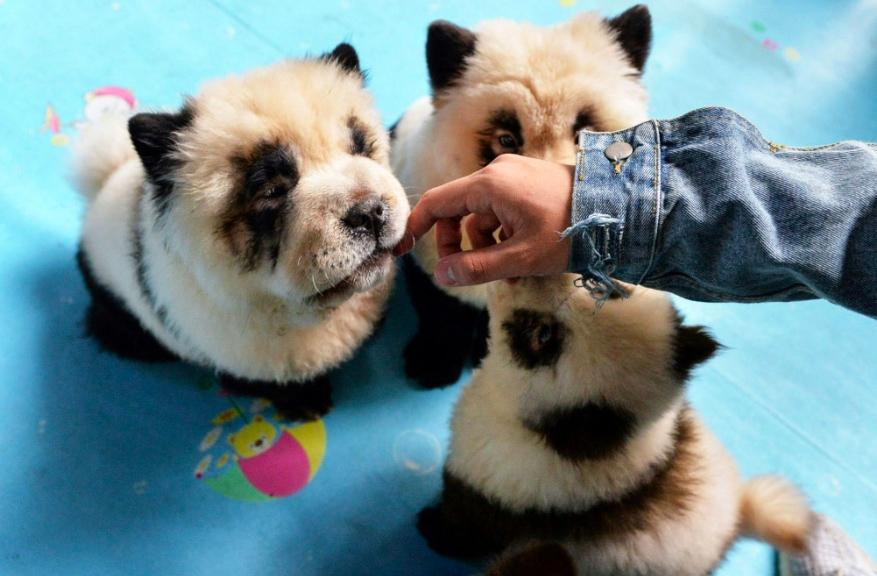 Specjalnie farbuje psy jednej rasy, żeby wyglądały jak małe pandy. Zarabia na tym